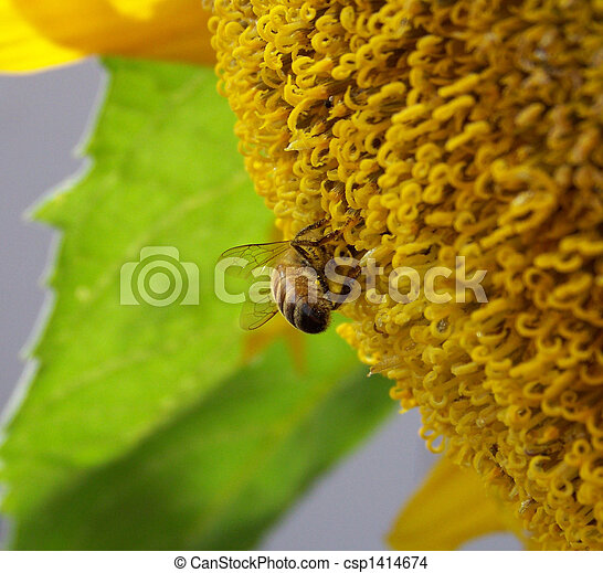 Close up of bee pollinating sunflower - csp1414674