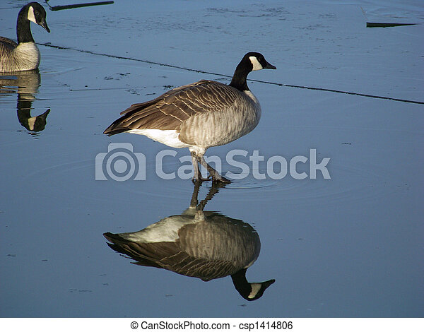 Canada goose appears to walk on water as it steps gingerly over thin water-covered ice.