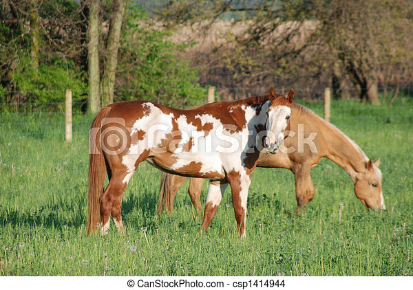 pinto and palomino grazing