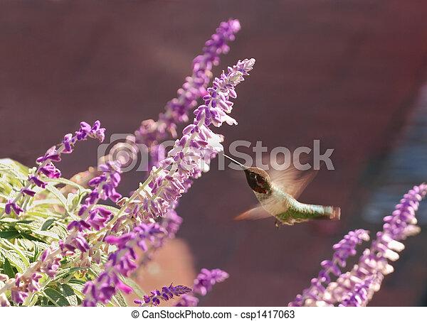 colibrí - csp1417063