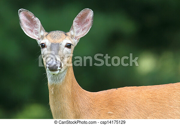 White-tailed Deer Doe - csp14175129