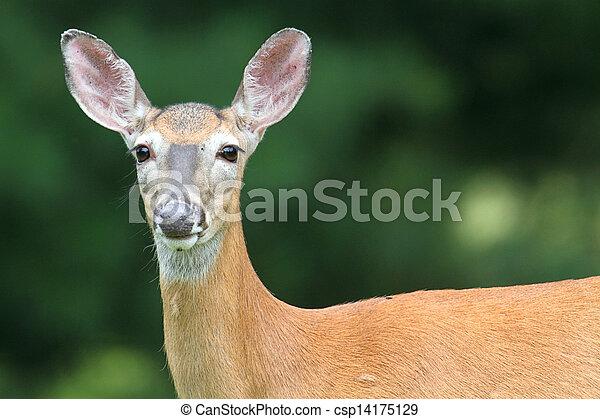 White-tailed Deer Doe - csp14175129