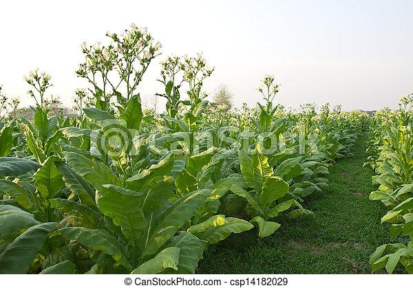 photo de champs plante tabac tha lande tabac jardin plante csp14182029 recherchez. Black Bedroom Furniture Sets. Home Design Ideas