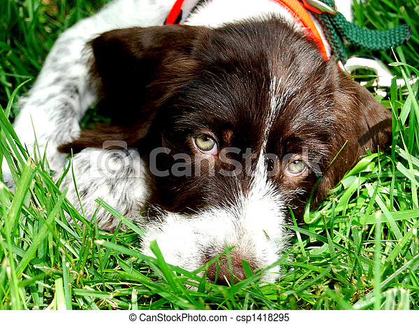 German Wirehaired Pointer - csp1418295
