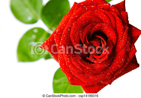 shiny red rose with water drops on white background - csp14189316