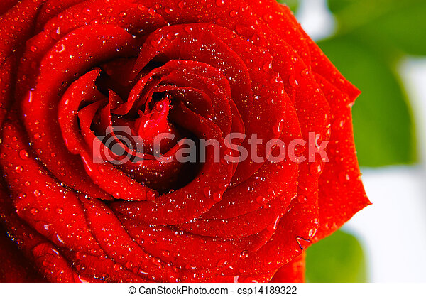 shiny red rose with water drops - csp14189322