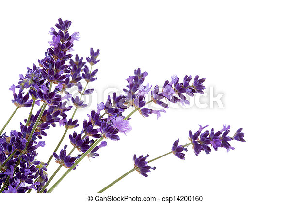 lavender stock photo images. , lavender royalty free pictures, Beautiful flower