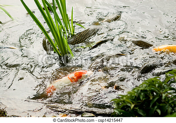 Stock photo of multicoloured fish koi swimming in a pond for Koi pond you can swim in