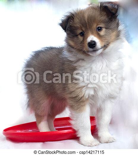 little puppy Sheltie - csp14217115