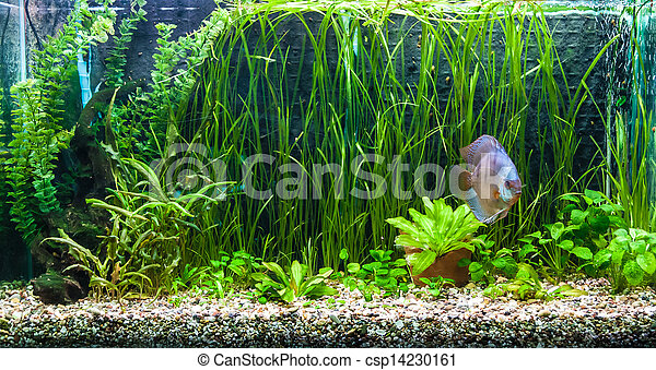 Aquarium with tropical fish of the Symphysodon discus spieces - csp14230161