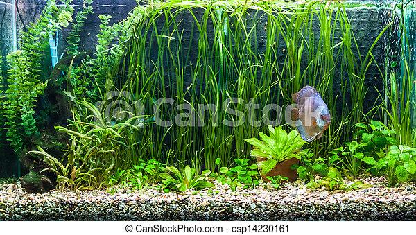 Aquarium with tropical fish of the Symphysodon discus spieces - csp14230161