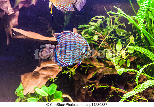 Aquarium with tropical fish of the Symphysodon discus spieces - csp14230337