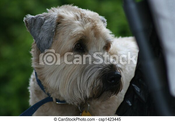 Weaton Terrier - csp1423445
