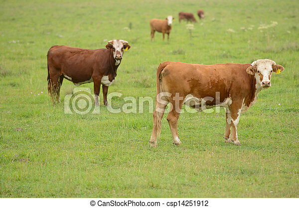 cows in a rural field in the springtime - csp14251912