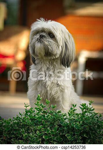 Shih Tzu Dog Sitting at Attention - csp14253736