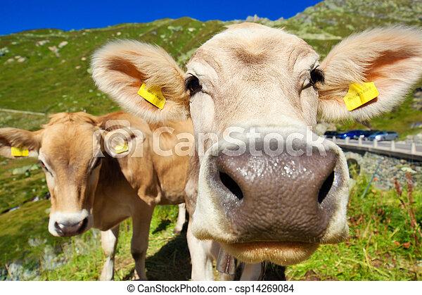 Cows on mountain meadow - csp14269084