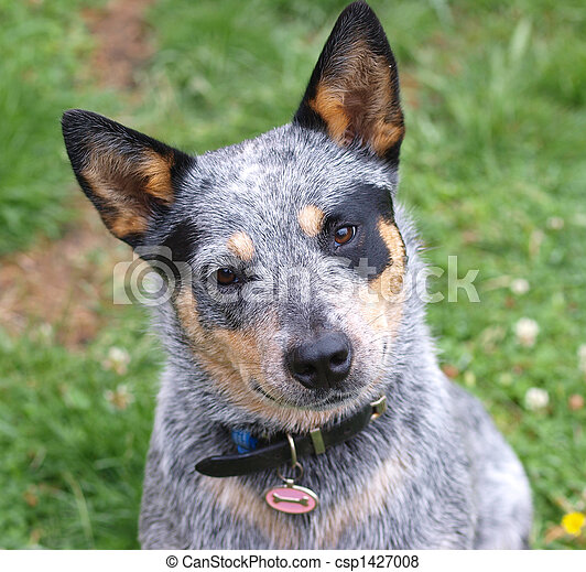 Australian Cattle Dog - csp1427008