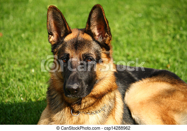 German shepherd dog - csp14288962
