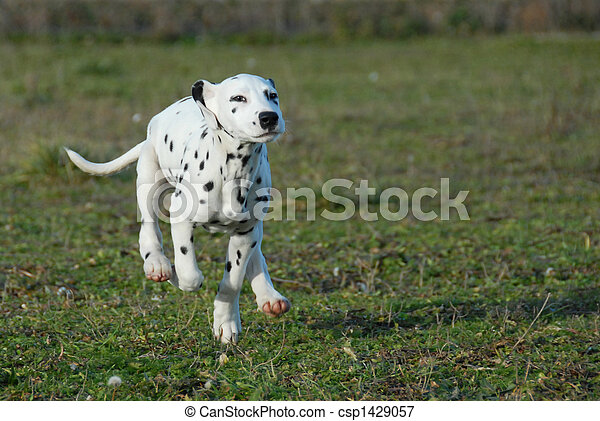 running puppy dalmatian - csp1429057