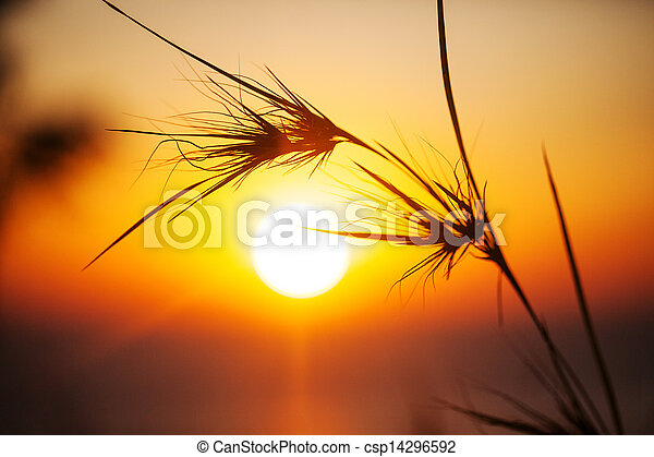 Silhouette of grass in sunset time. - csp14296592