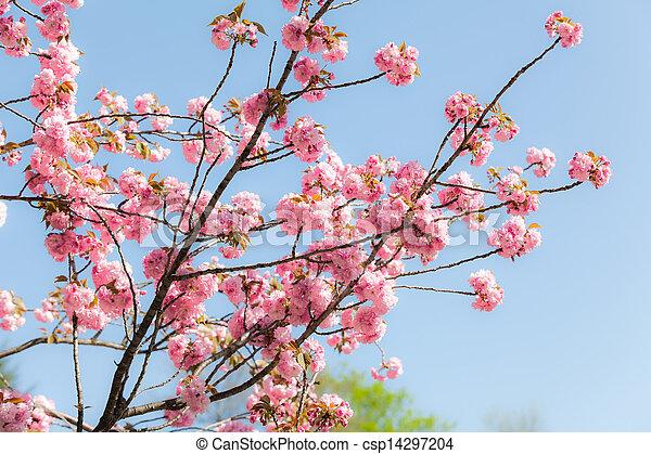 Photographies de sakura rose fleur cerise bleu arbre japonaise fond csp14297204 - Arbre rose japon ...