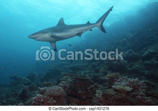 Reef Shark - csp1431276