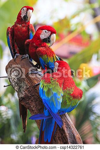 Sügér, ara papagáj, madár, ülés - csp14322761