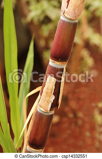 Sugarcane crop(stem) fully ripe ready for industrial extraction of sugar, jaggery, molasses and bio-fuel called ethanol - csp14332551