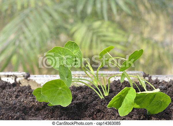 Photo int rieur jardinage nasturtium seedlings for Jardinage interieur