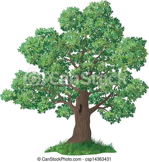 Chêne vert arbre