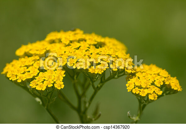 beautiful little yellow flowers in nature - csp14367920