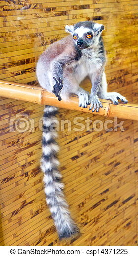 picture of a small mammal tailed lemur - csp14371225