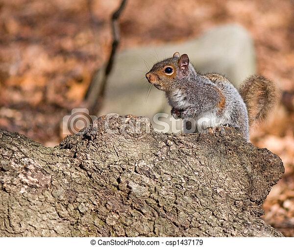 cautious squirrel - csp1437179