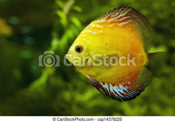 yellow discus - csp14376225