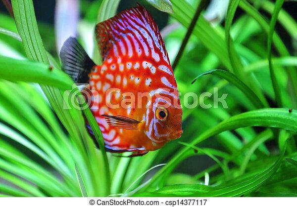 discus fish - csp14377117