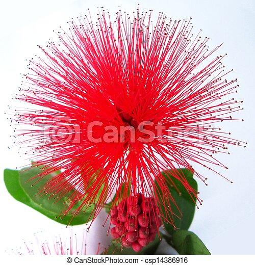 Stock Photography of Calliandra haematocephala - Very ...