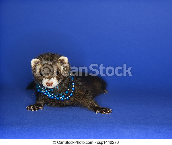 Ferret on blue wearing necklace. - csp1440270