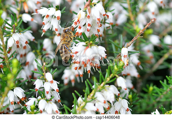 Close up of bee on Erica carnea.White winter - csp14406048