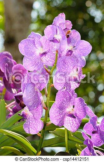 photo for t orchid e thte scientifique nom vanda emma fourgon deventer pluie for t. Black Bedroom Furniture Sets. Home Design Ideas