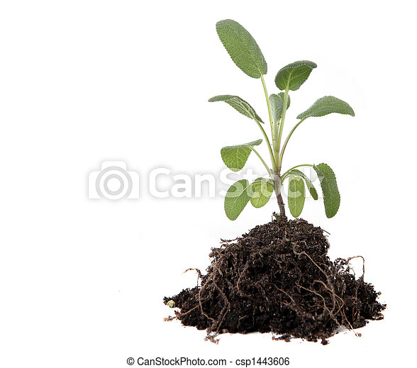 Green Sage Herb Planting With Dirt and Roots Exposed - csp1443606