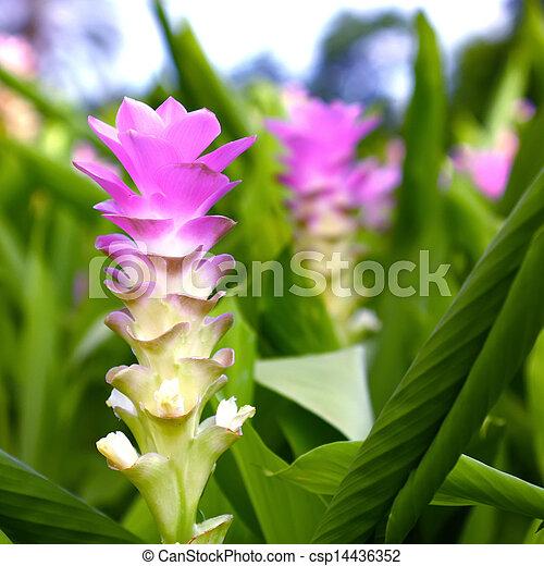 Banco de imagens de curcuma curcuma cor de rosa e azul gengibre azul csp14436352 - Ou acheter des rhizomes de curcuma ...