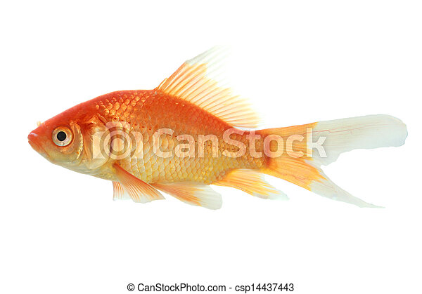 Photo de closeup poisson rouge isol blanc fond for Tarif poisson rouge