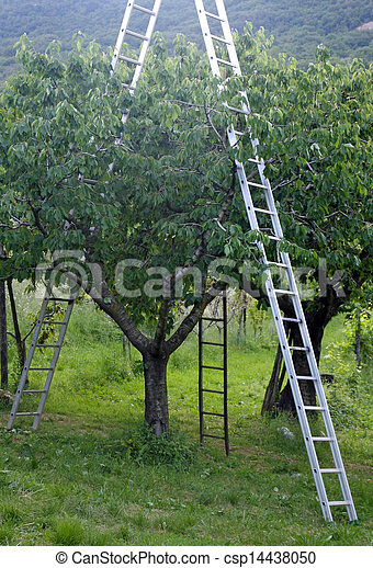 Orchard with aluminum ladder propped to fruit trees during harvesting of the fruit