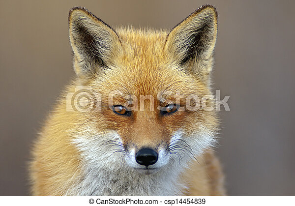 Red Fox - csp14454839