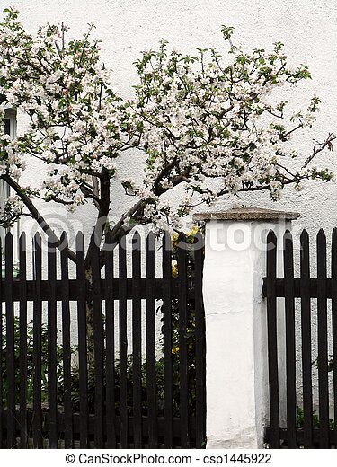 apple trees clothed in blossoms - csp1445922