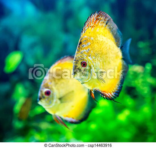 Symphysodon discus - csp14463916