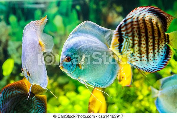 Symphysodon discus - csp14463917
