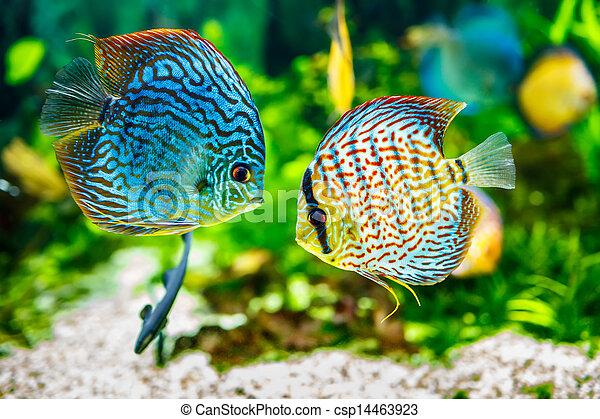Symphysodon discus - csp14463923