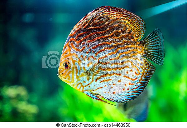Symphysodon discus - csp14463950