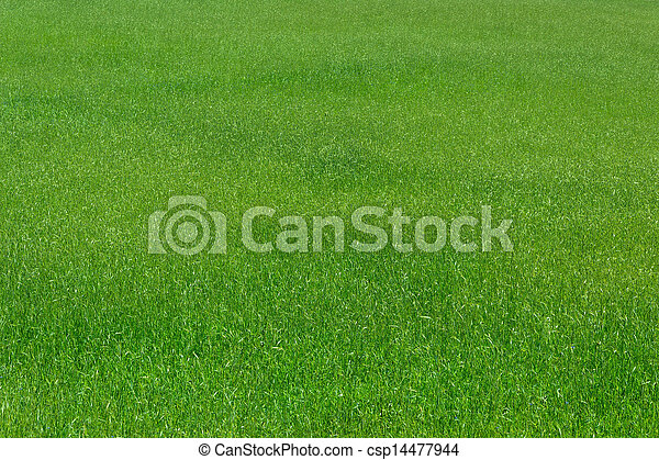 agriculture green wheat - csp14477944